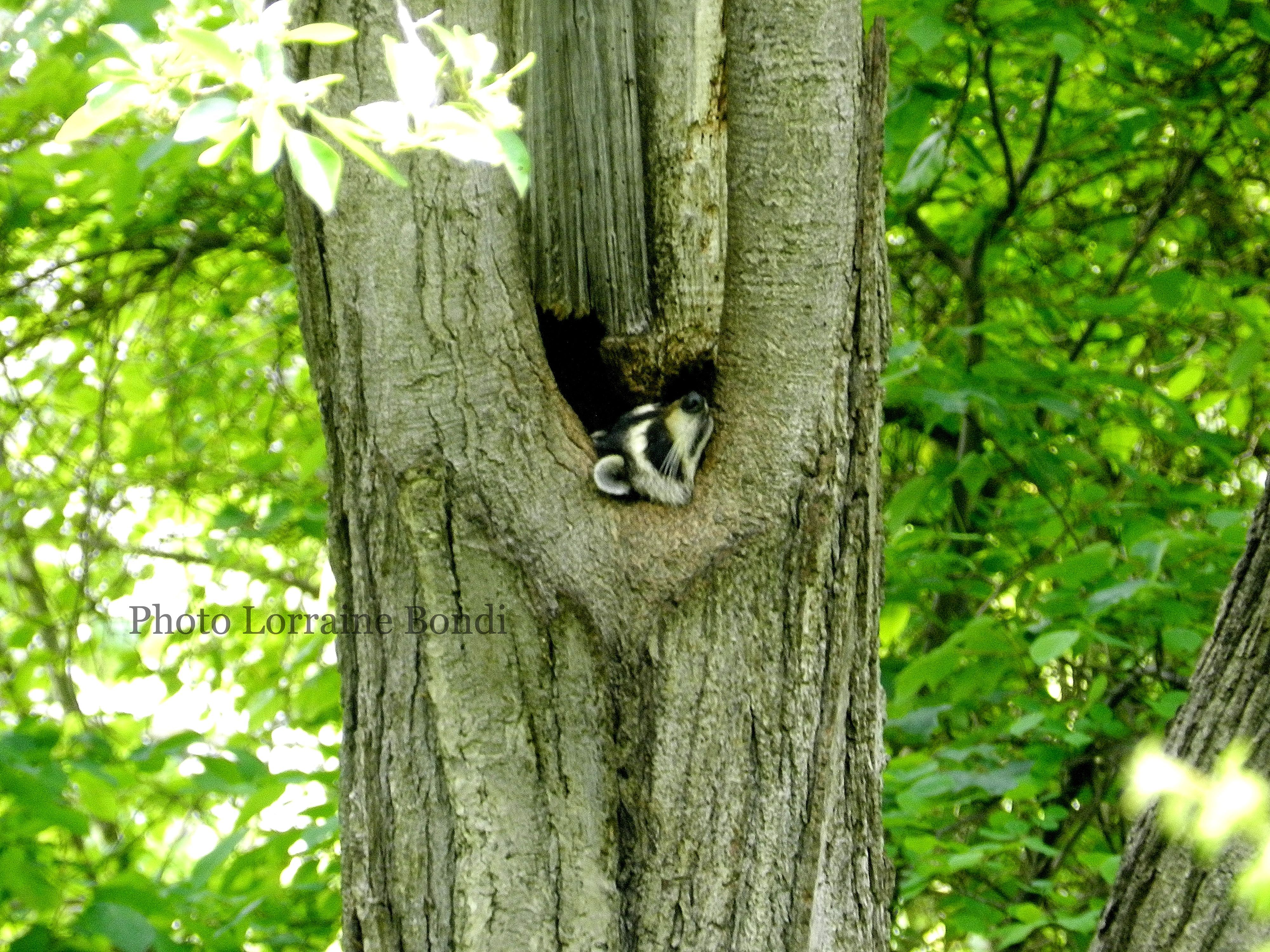 A raccoon lounges in a tree