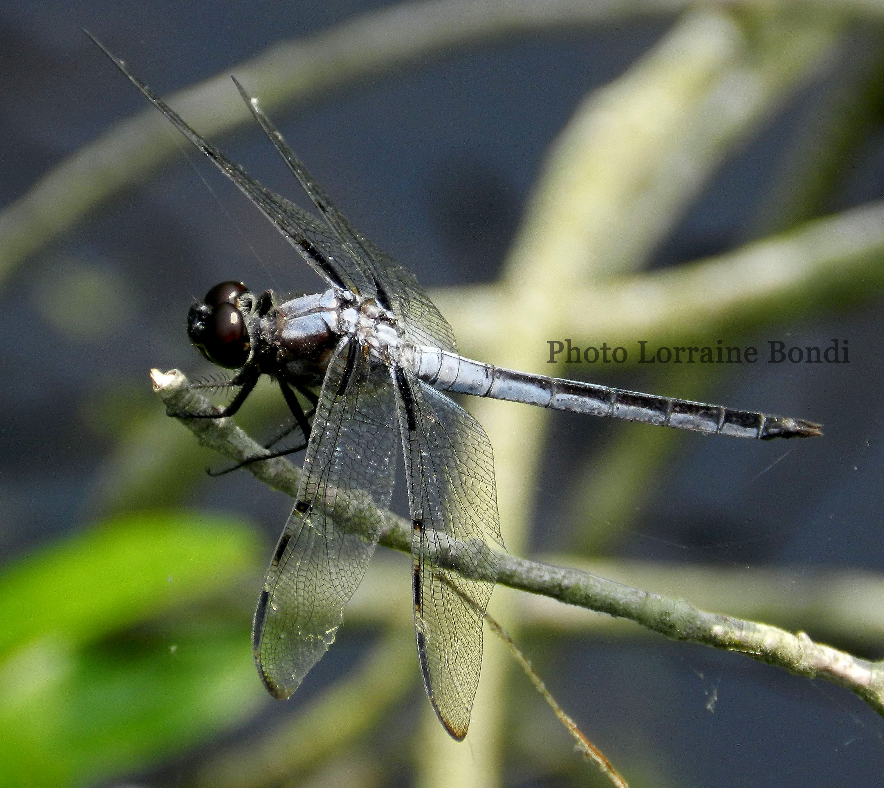 Many species of dragonflies can be found in the Preserve