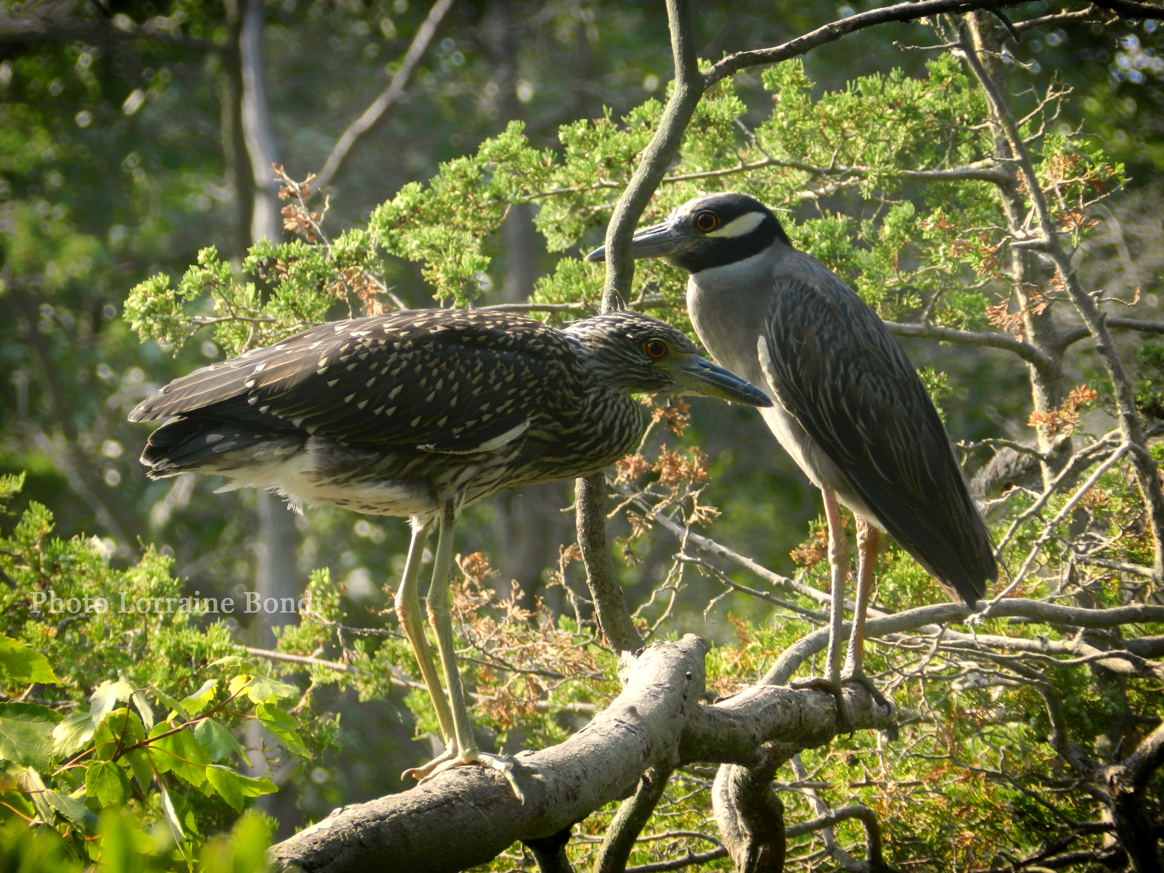 An adult and juvenile Yellow Crowned Night Heron