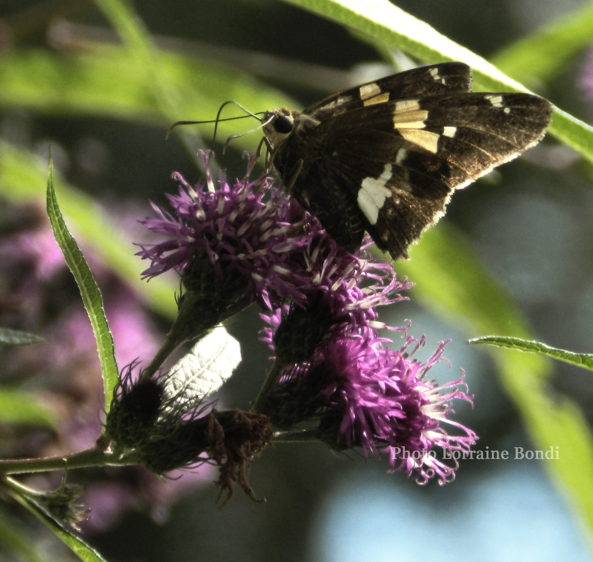 A little Skipper rests on a flower